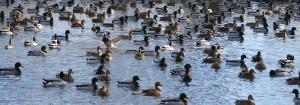 massa fåglar