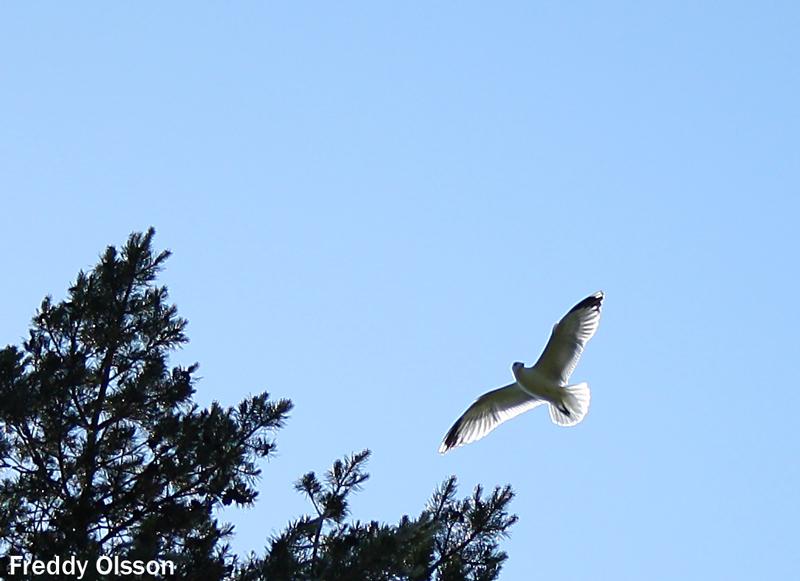 fågel vid sjön Skagern