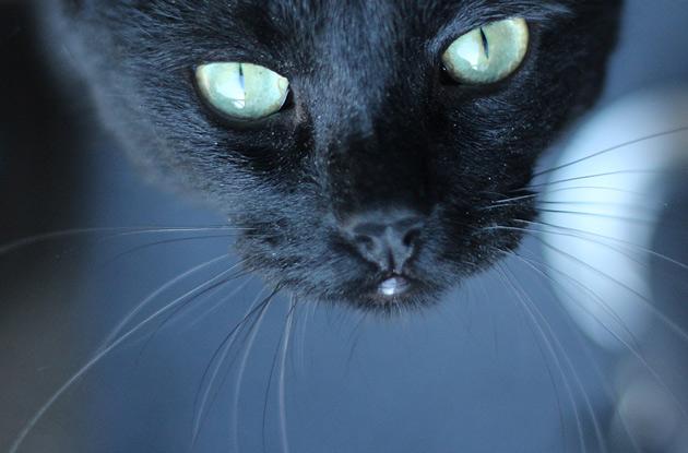 Svart katt - fotografering av husdjur