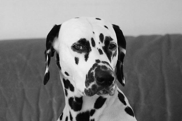 Djurfotografering i svartvitt av en hund.