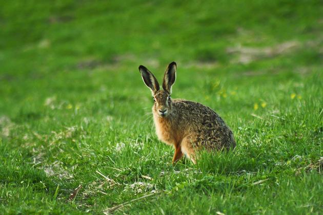 Djurfotografering av en hare.