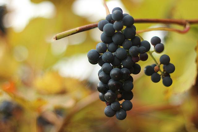 Vindruvor på hösten