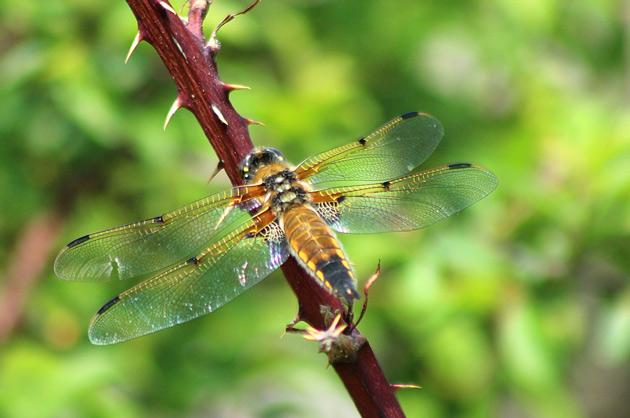 Trollslända - fotografering av insekt