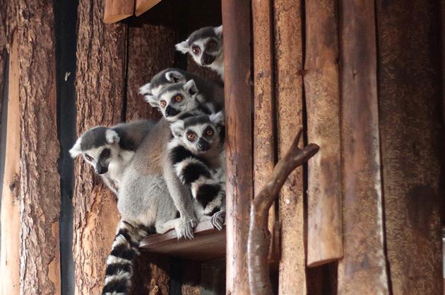 Nyfikna lemurer i tropikariet i Helsingborg