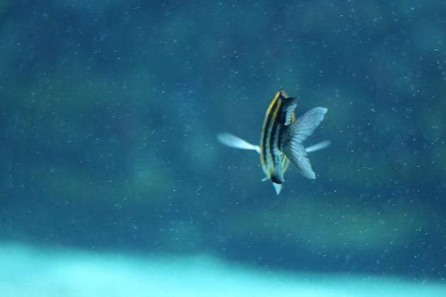 Fisk som simmar i hajrevet på tropikariet
