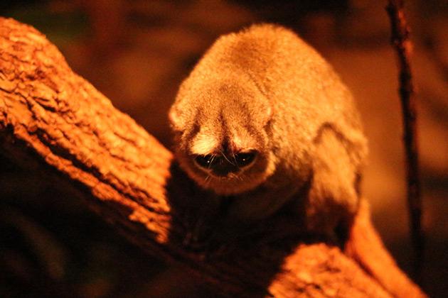 Nattdjuret loris inne på nattavdelning i tropikariet.