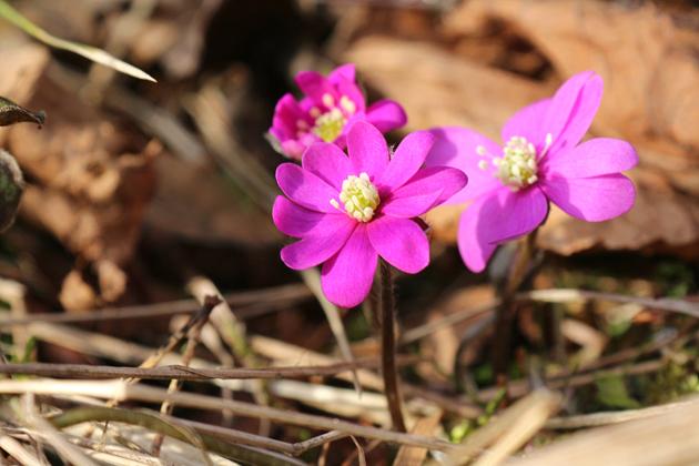 Vårblommor som heter rödsippa