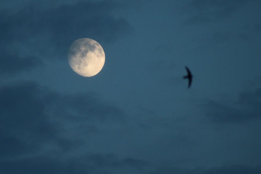 Månen och svalan - foto på månen