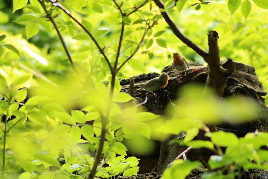 Bild på rödhakar som leker i Pålsjö skog